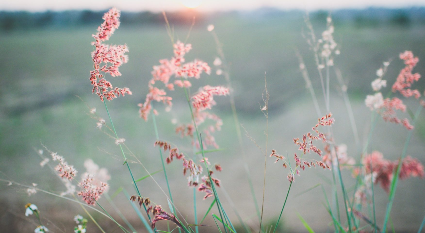pink feathery wildflowers