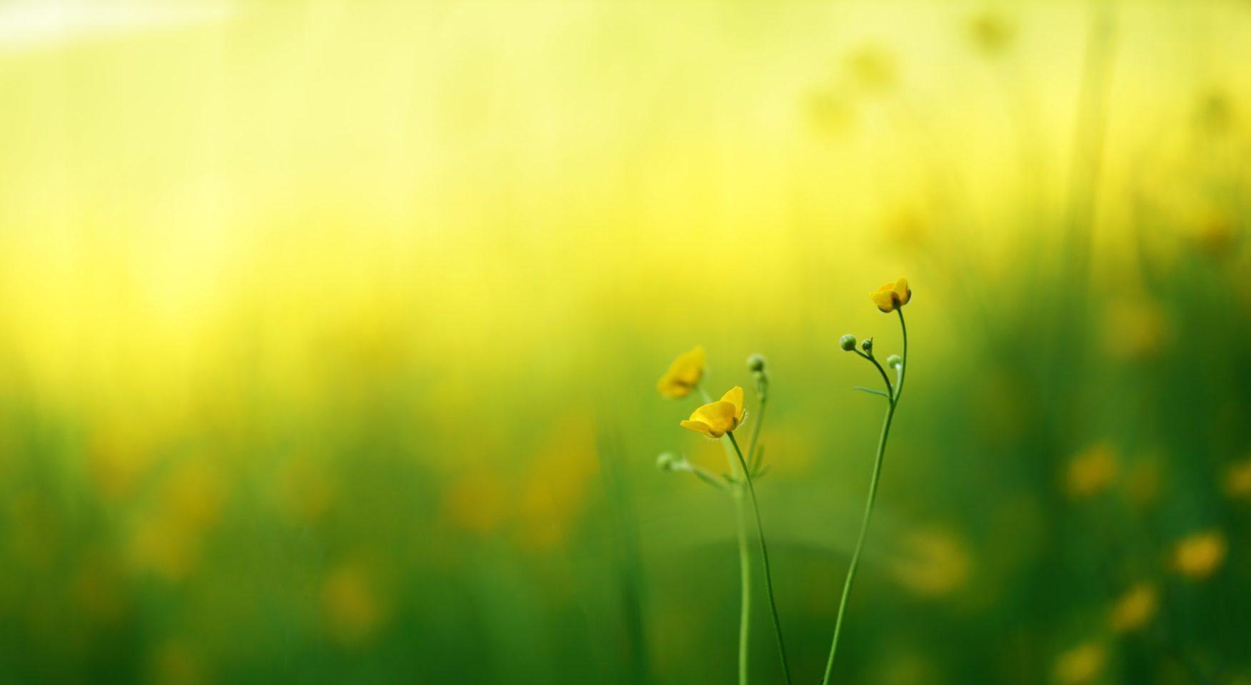 Field of buttercups