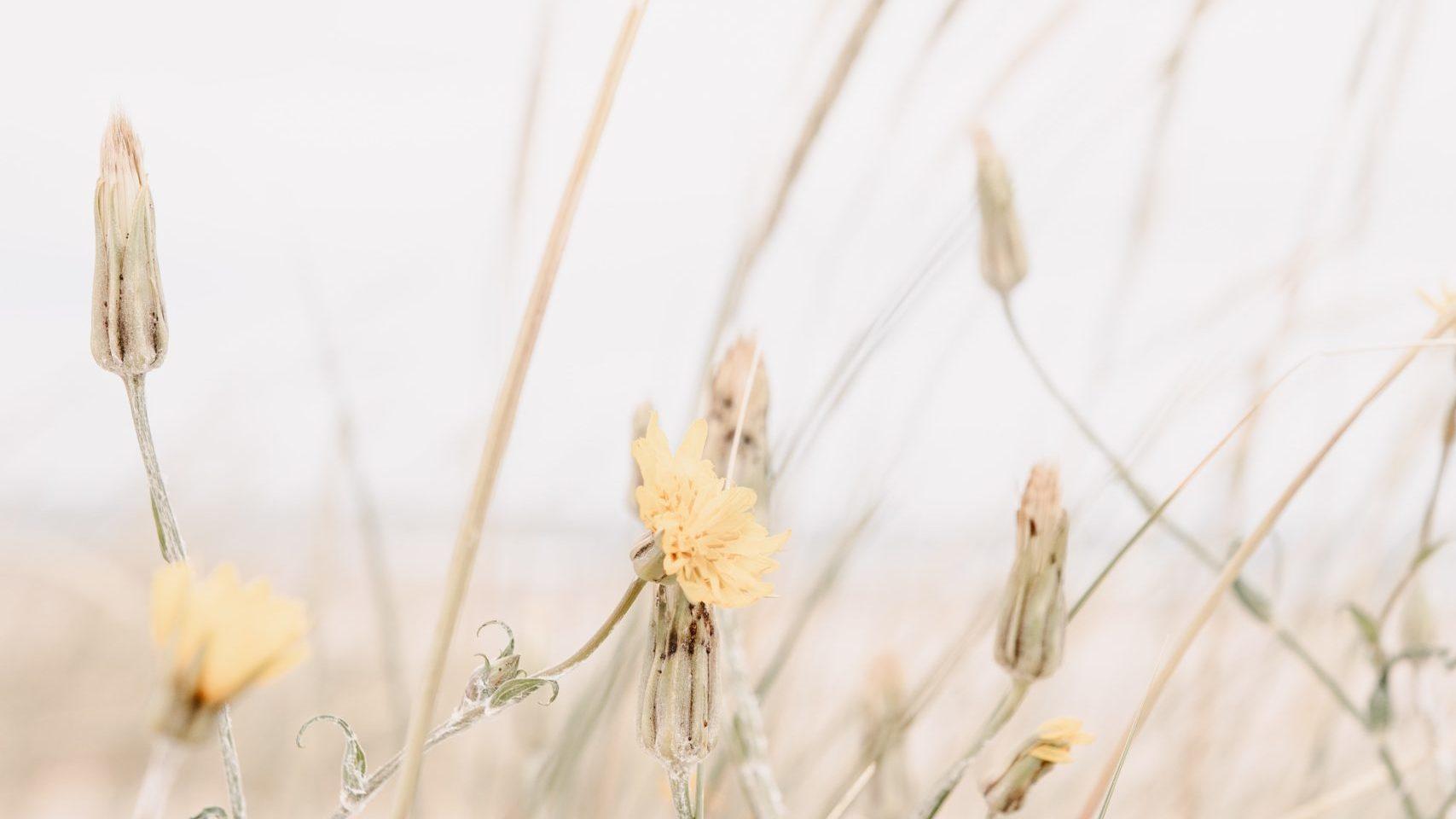 Dry looking dandelions