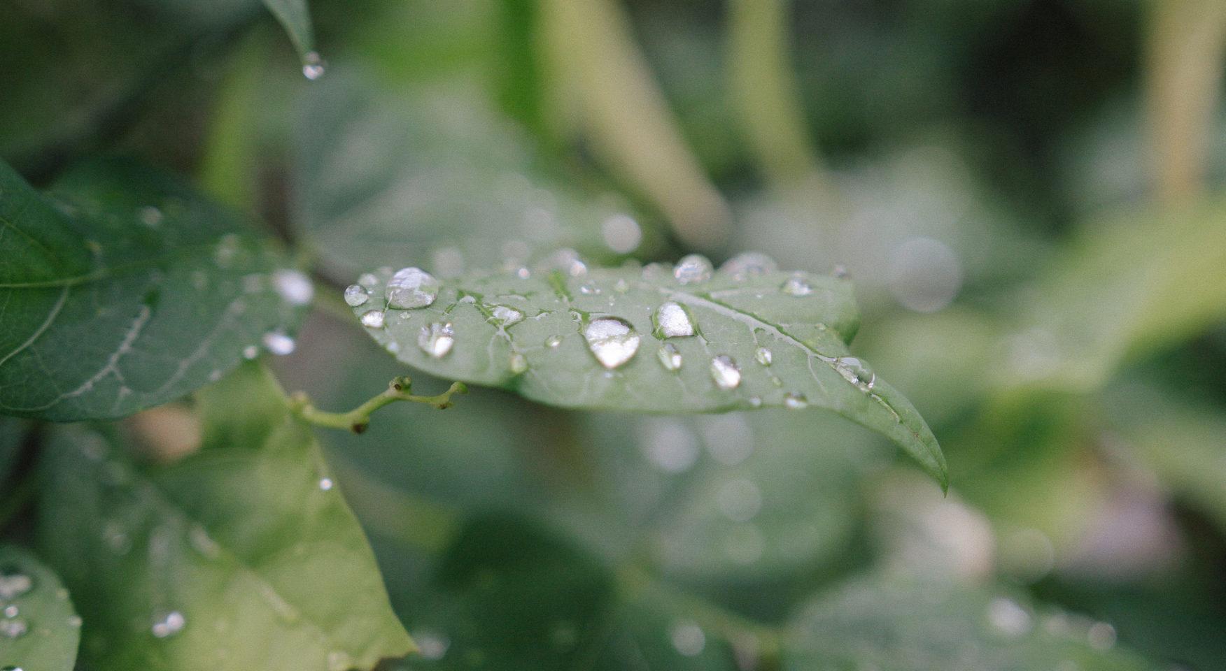 closeup of dew drops on green leaf