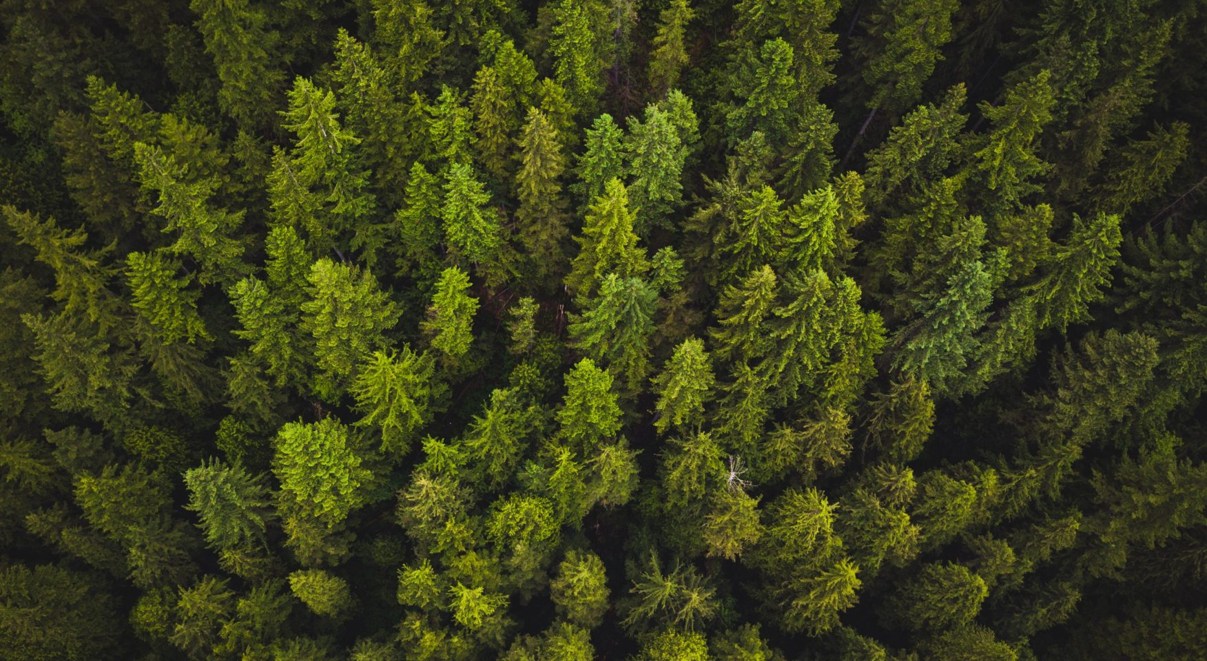 Evergreen treetops