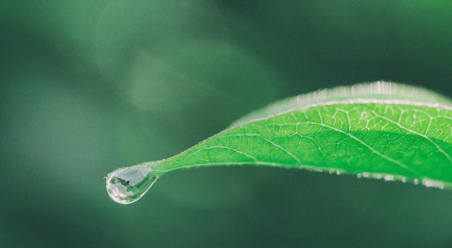 Single green leaf with dew drop