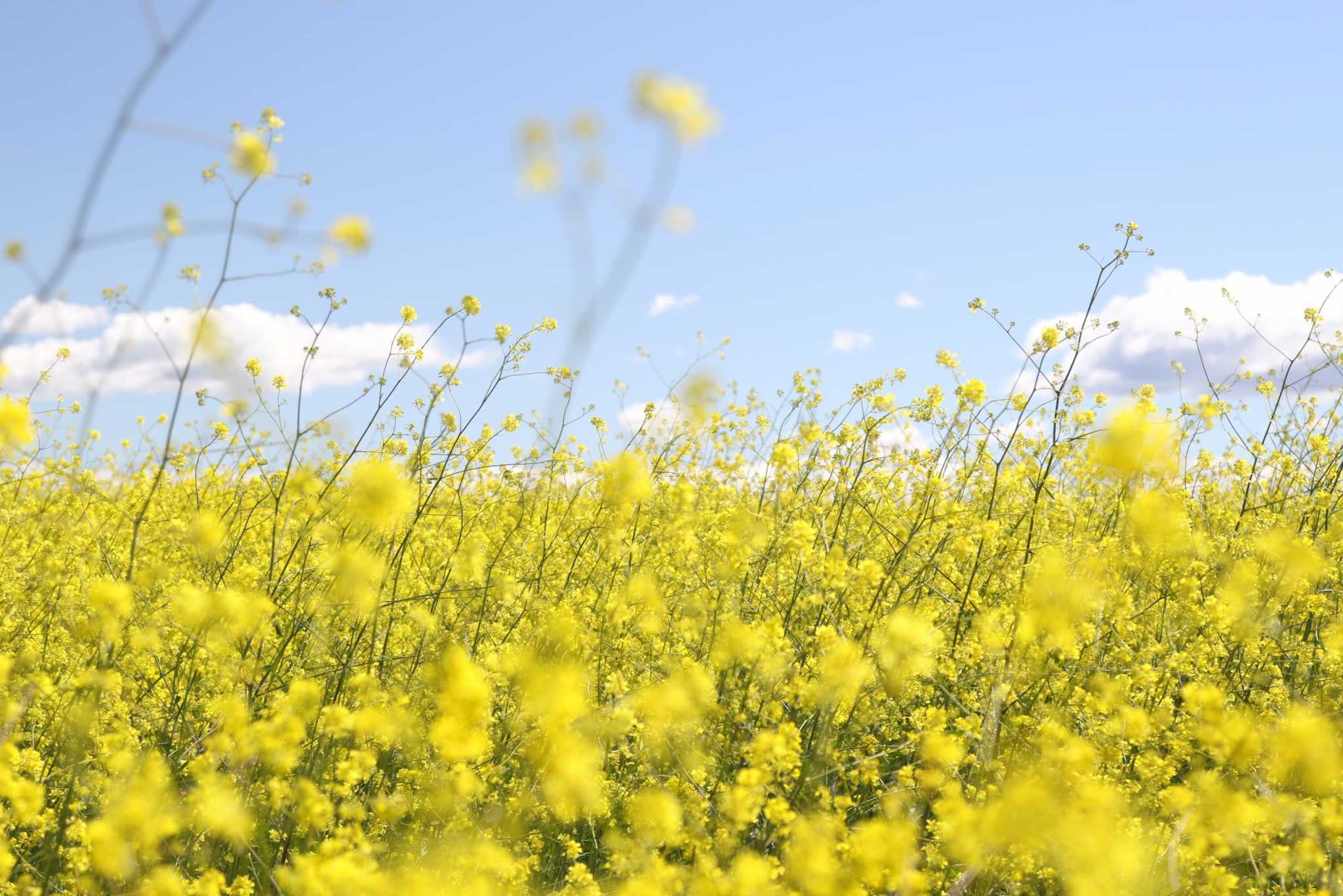 Field of puffy yellow flowers and pale blue sky
