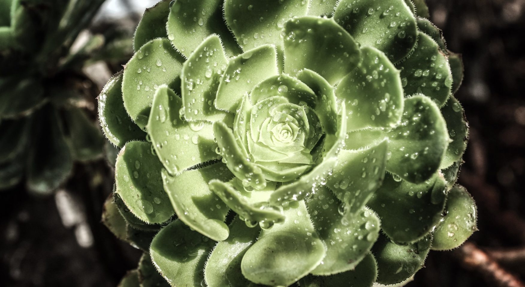 succulent plant covered in dew drops