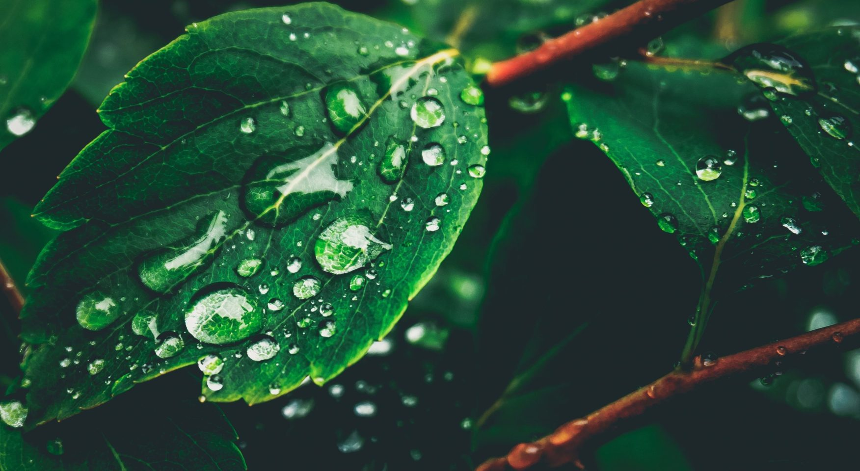 dark green leaves with dew drops